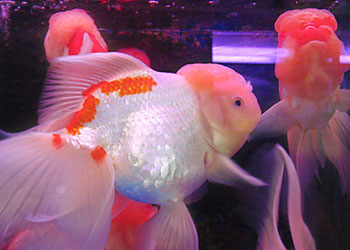 White oranda goldfish - photo#21