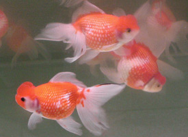Free Crown Pearlscale Goldfish Rare Local Pickup Only ...
